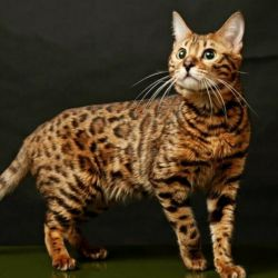 Leopar kedi senin için