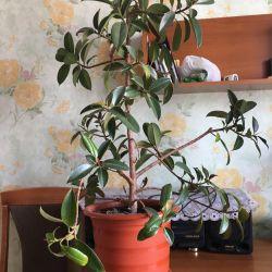 Ficus λουλούδι