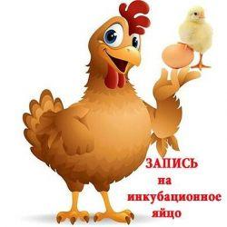 Αυξηση των αυγών Brolerov
