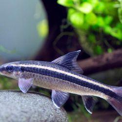 Ψάρια ενυδρείων Φύκη Σιαμαίοι.