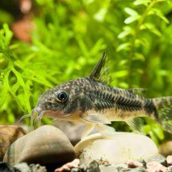 Τα ψάρια του ενυδρείου Κορυδίζονται με κηλίδες.
