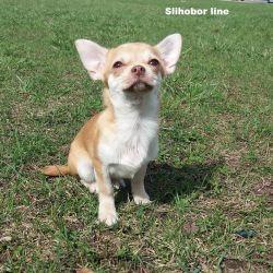 Chihuahua pagan boy
