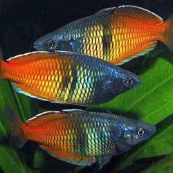 Ψάρια ενυδρείου Boeseman Rainbow