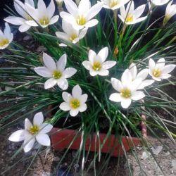 Комнатное растение Зефирантес белый
