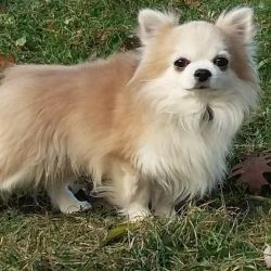 Male Chihuahua for mating