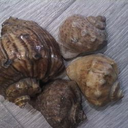 Θαλάσσια όστρακα από τη Μαύρη Θάλασσα