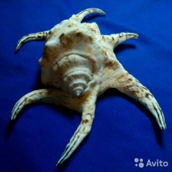 Philippine seashell