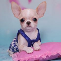 Princess chihuahua girl. w. w