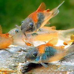 Ενυδρείο ψαριών διαδρόμου venezuela oranzh.