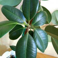 Ficus