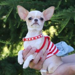 Small girl chihuahua cream g.sh.
