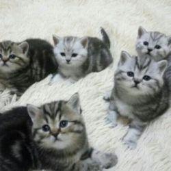 Σκωτσέζικα μαρμάρινα γατάκια