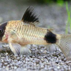 The choice of catfish for aqua !!!