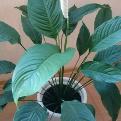 Spathiphyllum (female happiness) h 90 cm