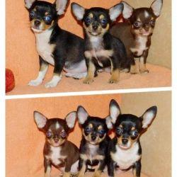 Cute chihuahua puppies