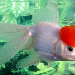 Ψάρια ενυδρείων Μικρή κόκκινη κουκούλα