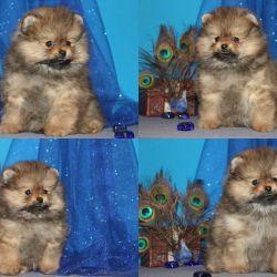A tiny Pomeranian pomeranian redhead. own.