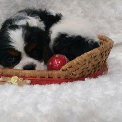 Σκύλοι Cavalier-king-charles spaniel tricolor RKF