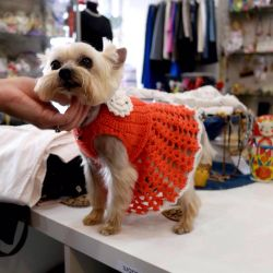 Knitted clothes for a yorkshire terrier