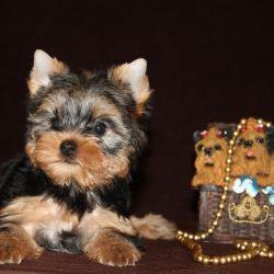 Yorkshire Terrier girl Fo Love