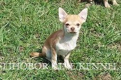Puppy Chihuahua boy