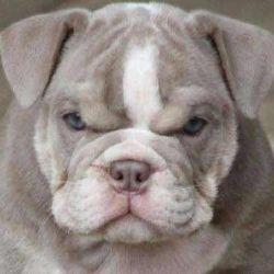 Bulldog puppy female