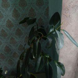 Tencere fiyatı için Ficus