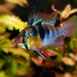 Ψάρια ενυδρείων Apistogram Ramirezi