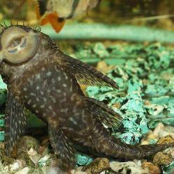 Ψάρια ενυδρείων Somik Antsistrus