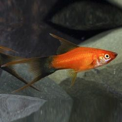 Ψάρια ενυδρείου Ξιφομάχος Vilchaty.