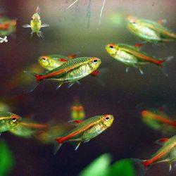 Ψάρια ενυδρείων Tetra Firefly (Ερυθρόζη)