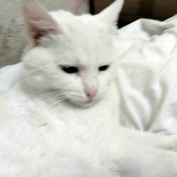 Άσπρη γάτα με μπλε μάτια