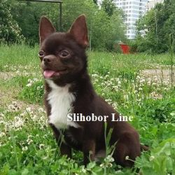 Chihuahua chocolate smooth-haired boy