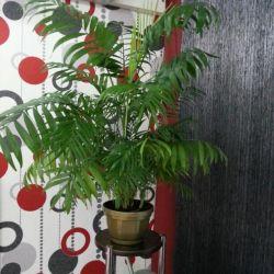 Hamedora (houseplant)
