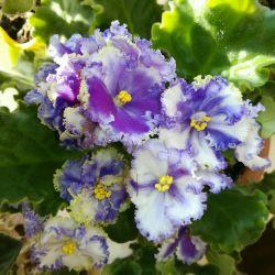 Цветок Фиалка Kei-Yoki