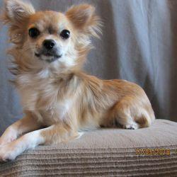 Chihuahua pale d / w girl