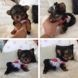 Female yorkie puppy available for adoption