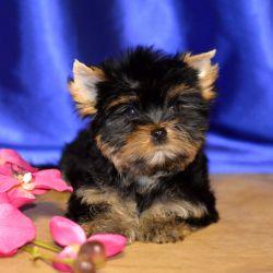 York mini girl 3 months