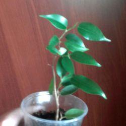 Ficus benjamina Natasha