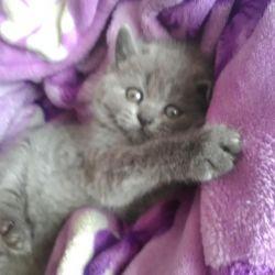 Süper İngiliz yavru kedi
