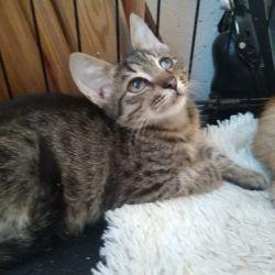 İyi ellerde Shoma yavru kedi