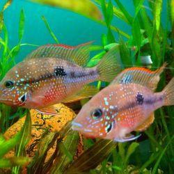 Ψάρια ενυδρείου Tsikhlazoma Eliota