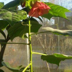 Комнатные цветы  Абитулон, каланхое.