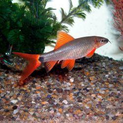 Ψάρια ενυδρείων Labeau frenatus.