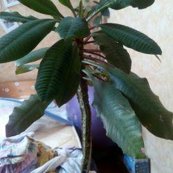 Palmo tree
