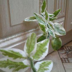 Leafed indoor plant