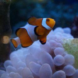 Θαλασσινό κλόουν ψαριών
