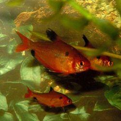 Μικρό ψάρια ενυδρείων