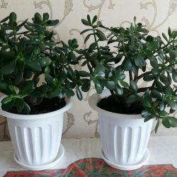 2 ταμειακά δέντρα.