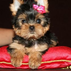 Yorkshire terrier girl 2.5 months of baby